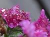 flowersintherain700_2038